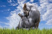 Adult Gorilla In A Grassy Pasture