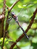 California Darner - Rhionaeschna californica