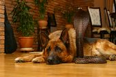image of german shepherd dogs  - German shepherd male dog above wooden snake - JPG