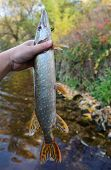 Pike in fisherman's hand against autumn trees and water