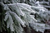 fir tree frosted