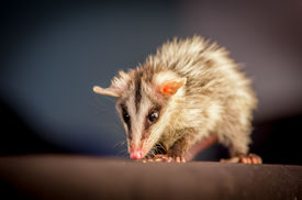 pic of opossum  - andean white eared opossum on a branch zarigueya over black background - JPG