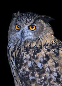 image of screech-owl  - A screech owl very beautiful wild animal - JPG