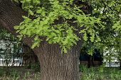picture of leafy  - Leafy oak tree with new  green sprout