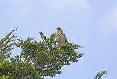 pic of pain-tree  - Chimango Caracara in a tree in Torres del Paine National park in Patagonian Chile - JPG