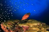 picture of grouper  - Coral Grouper fish on underwater ocean reef - JPG