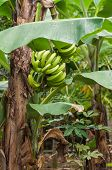 picture of banana tree  - Banana tree in a field in dominican republic - JPG