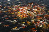 picture of fish pond  - beautiful koi fish swimming in the pond Colorful Koi - JPG