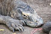 stock photo of komodo dragon  - Adult Komodo dragon close up Rinca Indonesia - JPG