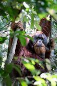 stock photo of orangutan  - Adult orangutan hanging from trees in the jungle - JPG
