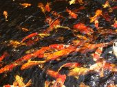 stock photo of fish pond  - Looking down into a pond of Colorful koi fish swimming at the surface - JPG