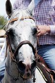stock photo of brahma-bull  - Rodeo horse ready to perform - JPG