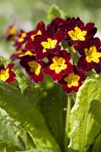stock photo of cowslip  - Primrose Primrose with burgundy flowers with yellow mid to full bloom closeup - JPG