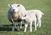 foto of spring lambs  - Spring lamb and mother in a field near Holmfirth West Yorkshire - JPG