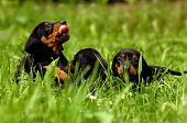 Cute dachshund puppies playing in green grass