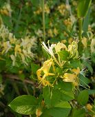 stock photo of honeysuckle  - Closeup of honeysuckle vines with yellow blooms and green foliage in the wild - JPG