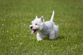picture of west highland white terrier  - West Highland White Terrier puppy over nature background - JPG