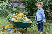 picture of wheelbarrow  - Boy with a full wheelbarrow in garden helps harvest crops - JPG