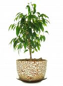 Weeping Fig (Ficus Benjamina) in Pot