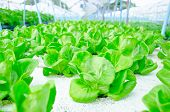stock photo of hydroponics  - green cos lettuce - JPG