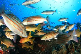 image of red snapper  - Snappers feeding frenzy - JPG