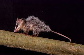 picture of opossum  - andean white eared opossum on a branch zarigueya over black background - JPG