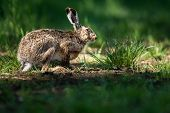 image of hare  - Brown hare  - JPG