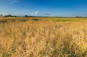 stock photo of rape-field  - Landscape of rape field at summer - JPG