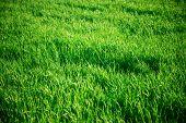 foto of tile  - Seamless tiling medium length grass texture - JPG