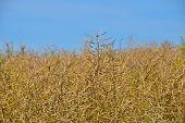 picture of rape-field  - Field of ripe mature colza rape plant under bright day blue sky - JPG