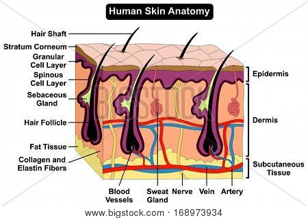Human Body Skin Anatomy Diagram Infographic Chart Figure With All