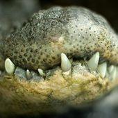 Crocodile Jaw