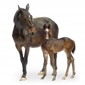 Mare With Her Foal (12 Days)