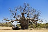 Woman Under The Boab Tree