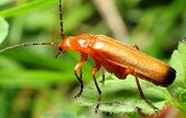 Rhagonycha fulva - Cantharide - In Middle Ages used like aphrodisiac