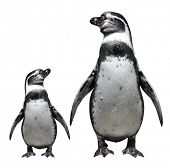 Two penguins - isolated object