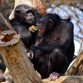 Two adult chimpanzees in Zoo Pilsen - Czech Republic - Europe