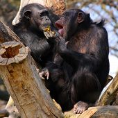 Two adult chimpanzees diner and talking in Zoo Pilsen - Czech Republic - Europe