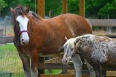 image of clydesdale  - Two horses (Clydesdale and Pony) enjoying a misting system. ** Note: Slight blurriness, best at smaller sizes - JPG