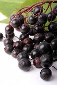 Sambucus nigra - Elder - The flowers and berries are used most often medicinally against flu and fe
