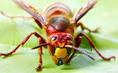 Close-up of a live European Hornet (Vespa crabro) on green leaf. Macro shot with shallow dof.