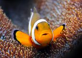 stock photo of clown fish  - Tropical reef fish  - JPG