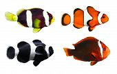 Collection of Tropical reef fish - Clownfish (Amphiprion ocellaris, Amphiprion polymnus, Amphiprion allardi, Amphiprion melanopus) - isolated on white background.