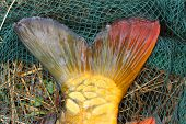 The fishtail.