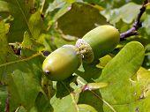 unripe acorn on autumn oak