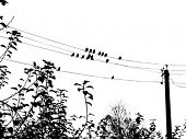 vector silhouette of the waxwings on electric wire