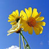 chrysanthemums on background blue sky