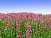 lila Flowerses auf Feld