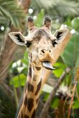 Hilarious Giraffe With Tongue Out poster