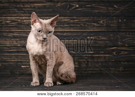 poster of Thoroughbred Cat. Exhibition Of Cats Concept. Beautiful Devonian Rex Cat